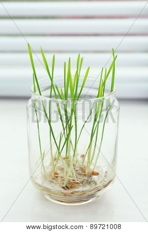 Sprouted grains in glass vase on windowsill background