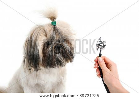 Cute Shih Tzu and hand with statothcope isolated on white