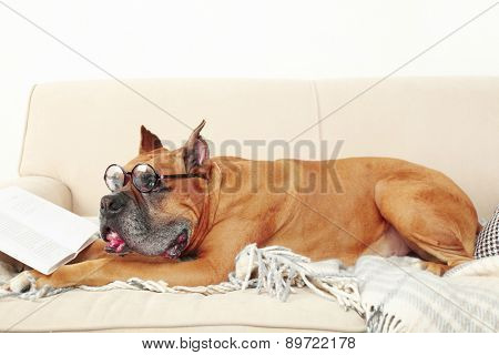 Cute dog in funny glasses and book lying on sofa, on home interior background