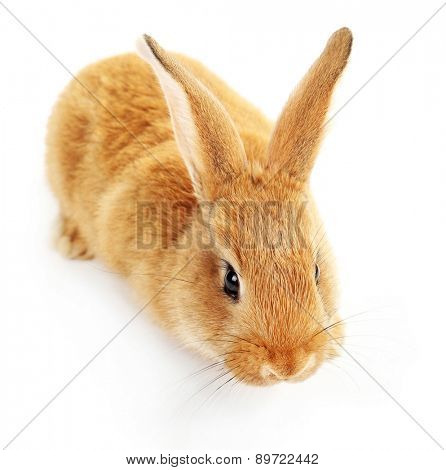 Cute brown rabbit isolated on white