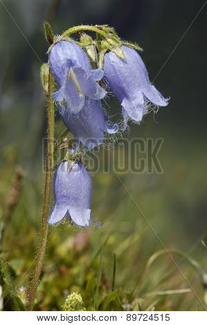Bearded Bellflower