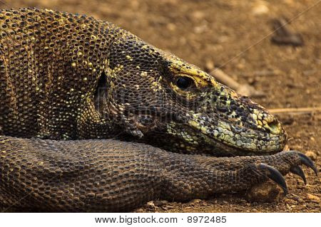 Closeup Of  Head And Sharp Claws Of  Komodo Dragon (varanus Komodoensis) In Pulau Rinca, Indonesia