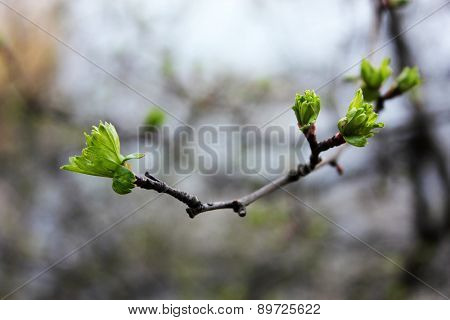 First spring buds on branch, close-up