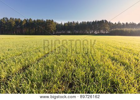 Young Green Cereal Field