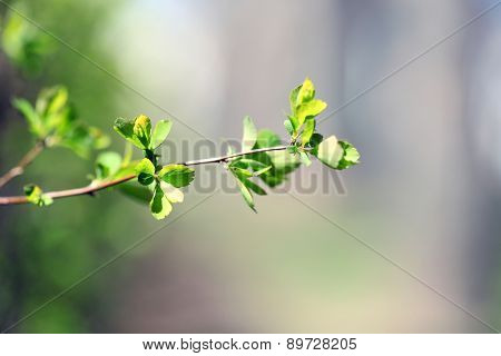 Fresh spring leaves on branch, close up