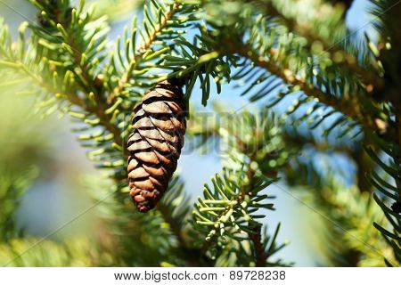 Cone on fir-tree, outdoors
