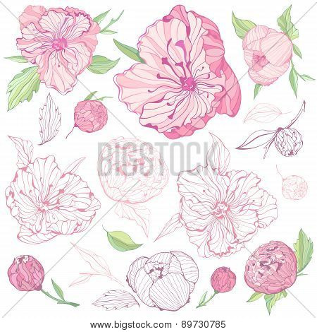 Set of isolated Peony Flowers