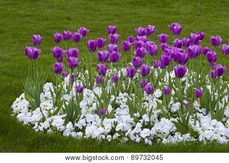 Flowers - Tulips And Pansies