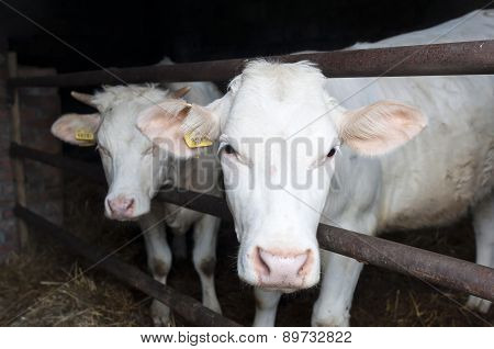 Charolais Breed Cow
