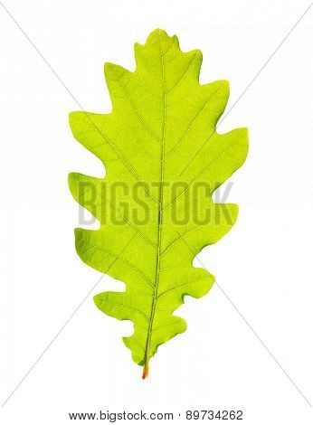 Green oak leaf isolated on white backgrpund.