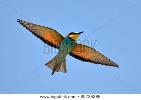european bee-eater (Merops Apiaster) flying