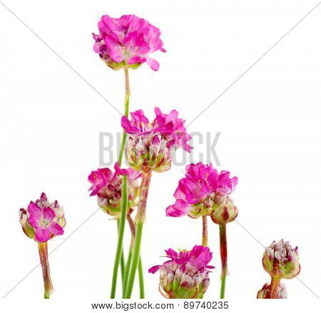 Beautiful pink flowers isolated on white