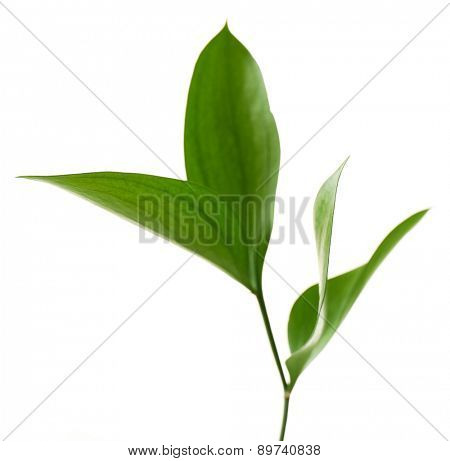 Branch with fresh green leaves, isolated on white
