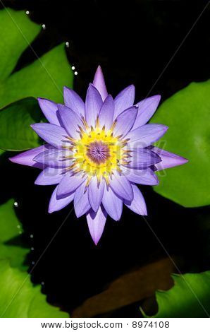 Beautiful Day Blooming Water Lily