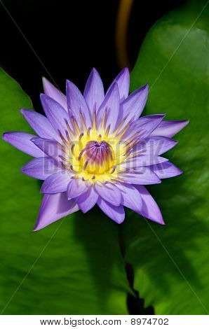 Wonderous Water Lily