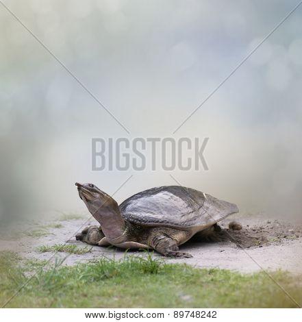 Female Florida Softshell Turtle  Laying  Eggs