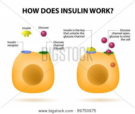 How Does Insulin Work