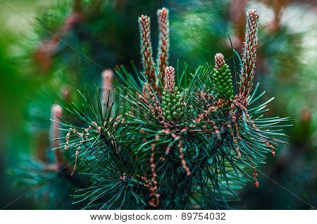 Budding Pine Cones Isolated 1