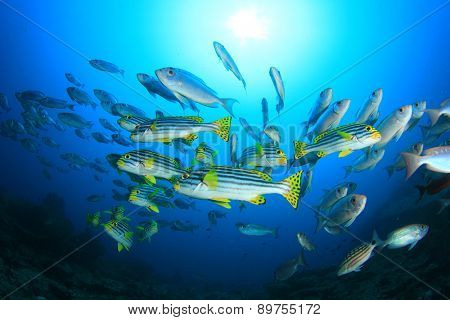 Fish school in ocean: Crescent-tailed Bigeyes and Oriental Sweetlips
