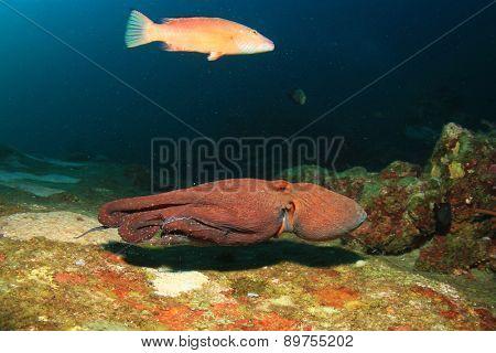 Reef Octopus underwater and fish
