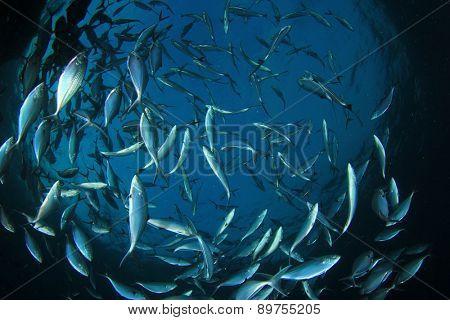 Mackerel fish underwater in ocean