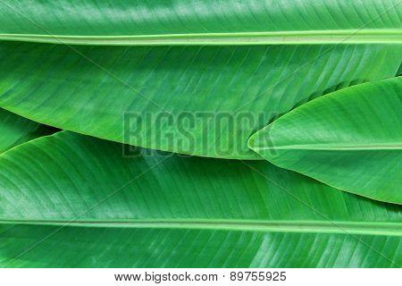 Banana Leafs Background