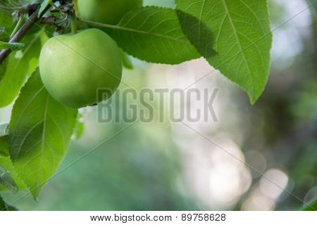 Small Green Apple On Background Of Blured Foliage