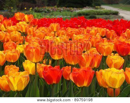 Spring tulips.