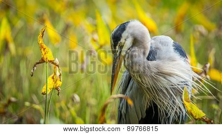 Fall Blue Heron