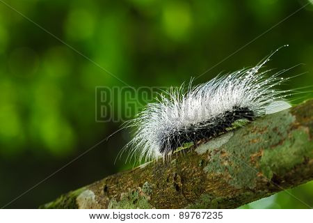 Hairy Caterpillars