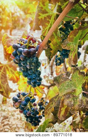 Bunch of grapes in vineyard