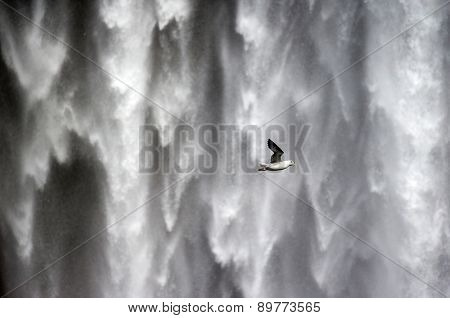 Herring gull flying past waterfalls in Iceland