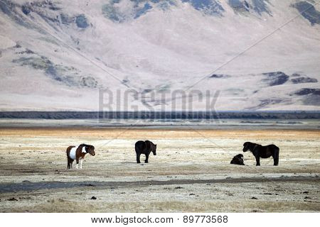 Icelandic ponies (horses) grazing in the grass fields on the southern cost of Iceland in the winter.