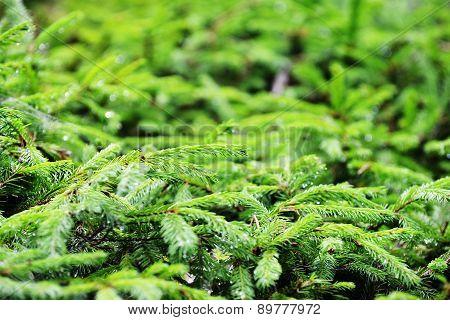 Green Fir-tree