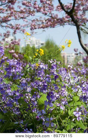 Purple Orychophragmus Violaceus Flowers
