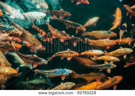 Plenty of colorful Koi fish