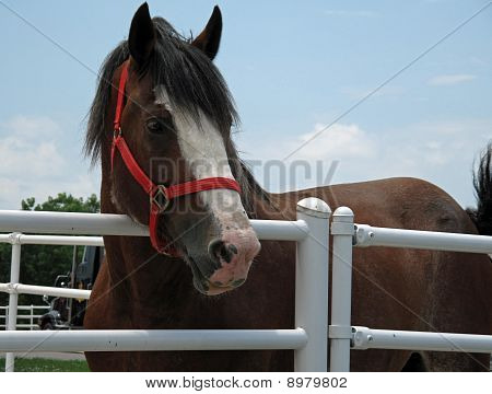 Clydesdale close up