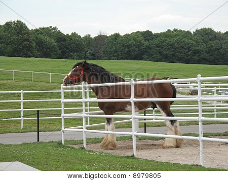 Clydesdale in a Pen