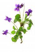 image of viola  - Violets  - JPG