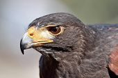 stock photo of hawk  - Closeup portrait of the Harris hawk seen from the side - JPG