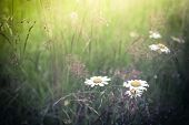 picture of wildflower  - Amazing sunrise at summer meadow with wildflowers. Nature floral background in vintage style ** Note: Shallow depth of field - JPG
