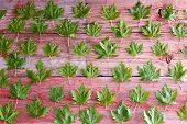 picture of canada maple leaf  - Fresh green maple leaf background pattern arranged in rows on rustic wooden boards conceptual of spring or Canada - JPG
