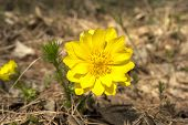 stock photo of rare flowers  - Adonis rare flower growing in our woods - JPG