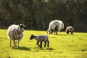 stock photo of spring lambs  - Beauitful landscape image of Spring lambs and sheep in fields during late evening light