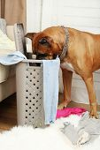 foto of dog clothes  - Dog demolishes clothes in messy room - JPG