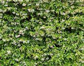 foto of honeysuckle  - A Flower Background of a Honeysuckle Plant - JPG