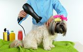 picture of barbershop  - Hairdresser dried hair of Shih Tzu dog in barbershop isolated on white - JPG