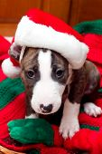 picture of puppy christmas  - puppy with santa hat on christmas blanket
