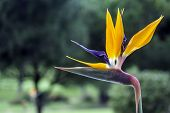foto of bird paradise  - Strelitzia reginae is a monocotyledonous flowering plant indigenous to South Africa - JPG