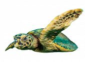 stock photo of hawksbill turtle  - Hawksbill Turtle isolated white background - JPG